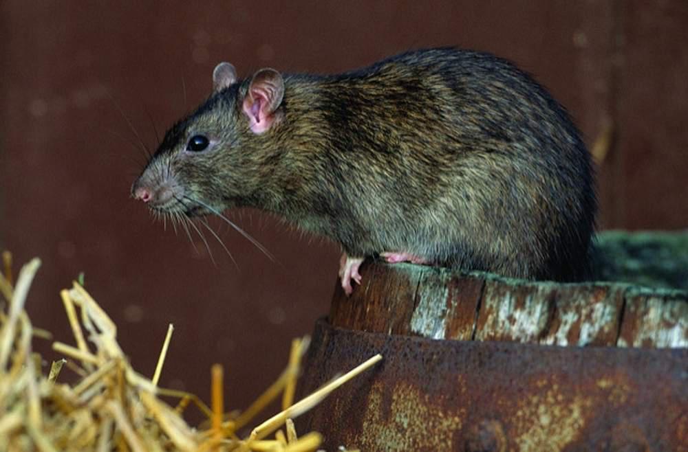 A norway rat
