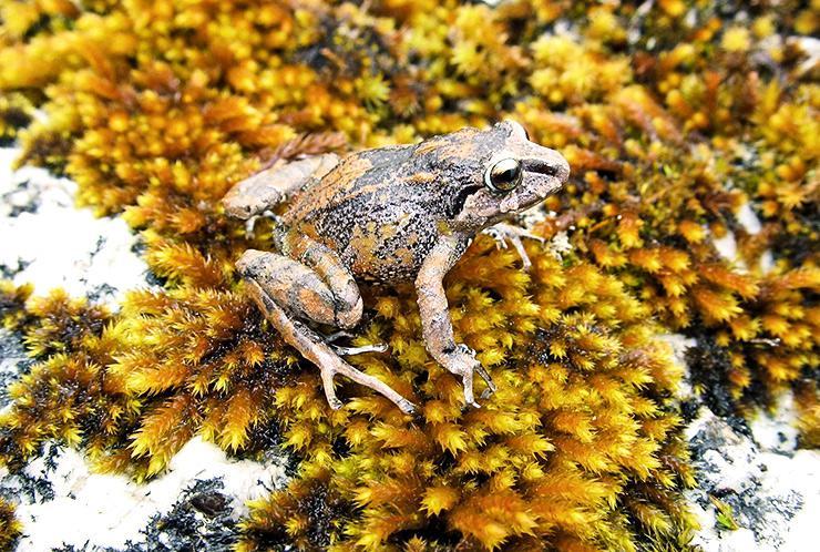 Humboldt's Rubber Frog