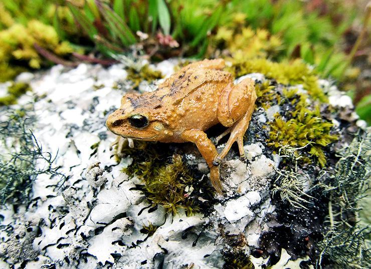 Hill Dweller Rubber Frog