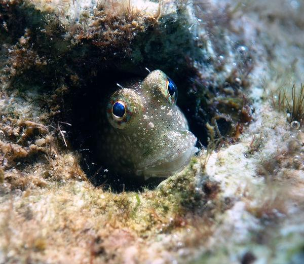 a blenny fish