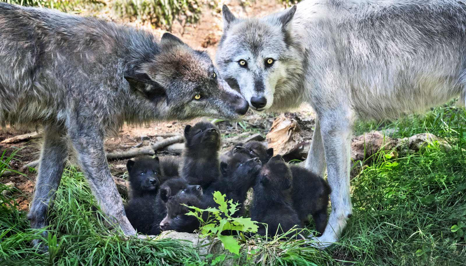 wolf mom and dad stand over pups