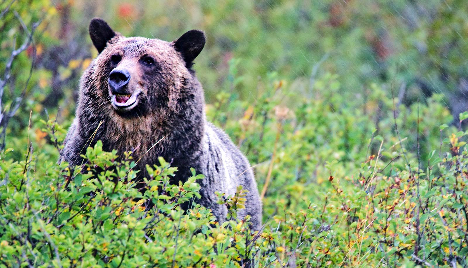 grizzly bear in huckleberry bushes