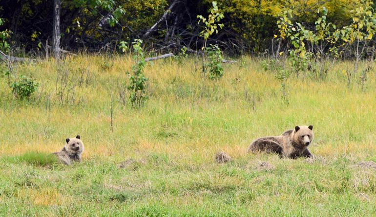 grizzly bear mother and cub in green grass