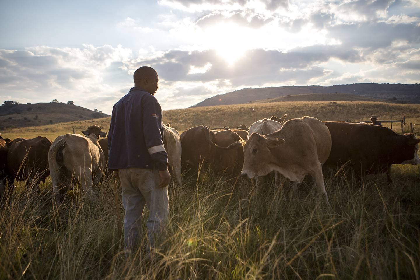 Mhle Msimang with his cattle.