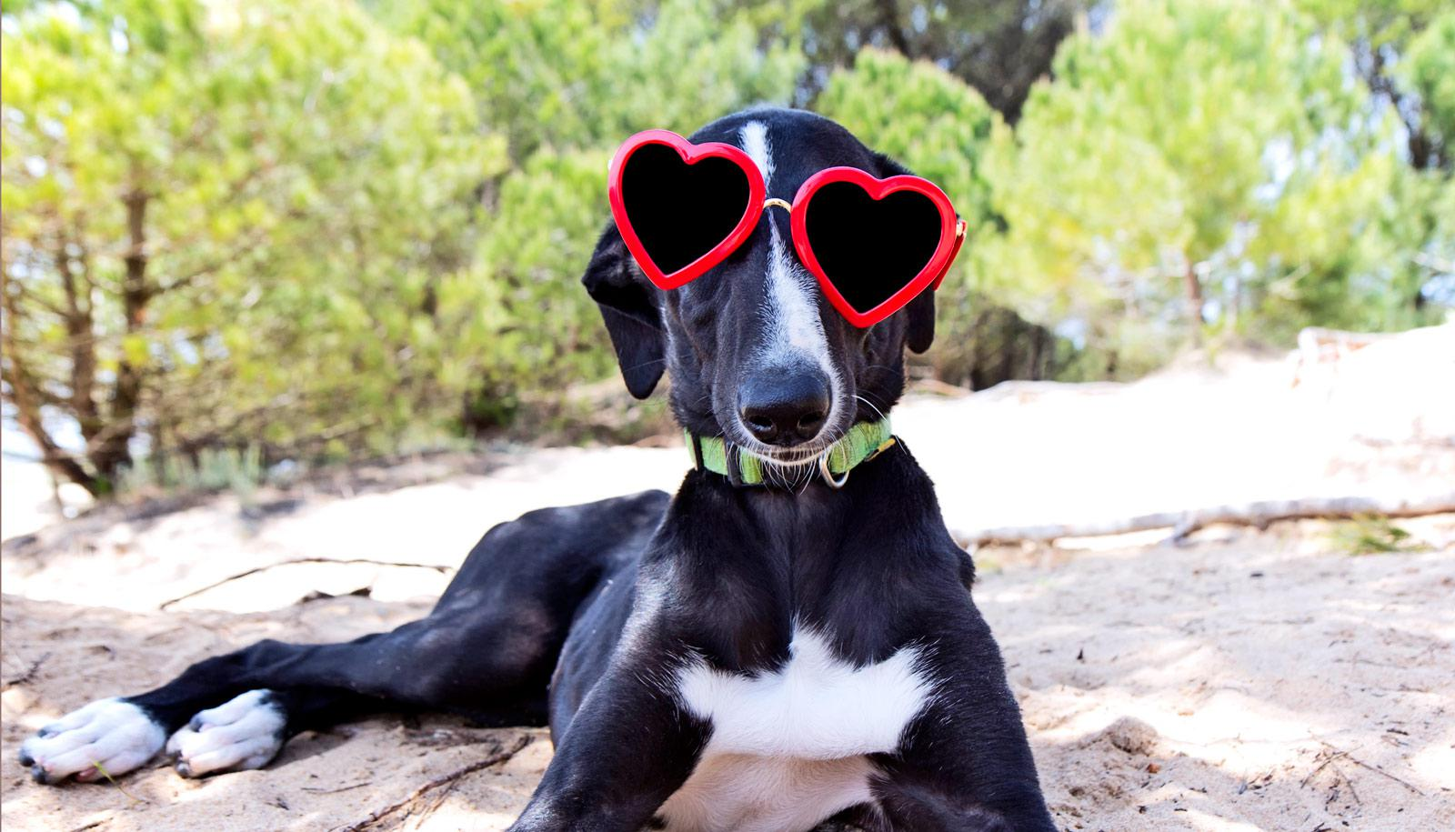 dog wearing heart sunglasses