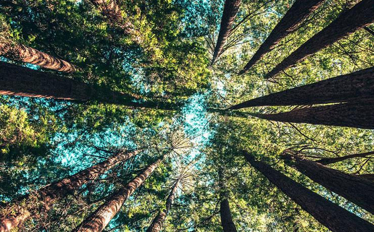 Forest Bathing: How Immersing in Nature Can Help You Reconnect by Tess DiNapoli. Upward photograph of trees in a forest by Casey Horner.