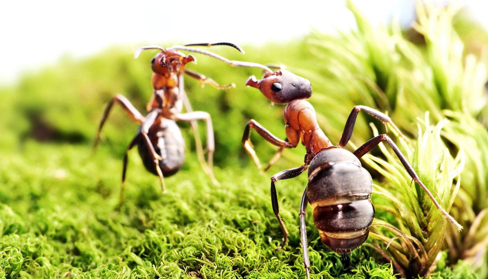Two reddish brown ants face off against each other, rising up on their hind legs, on what looks like green moss