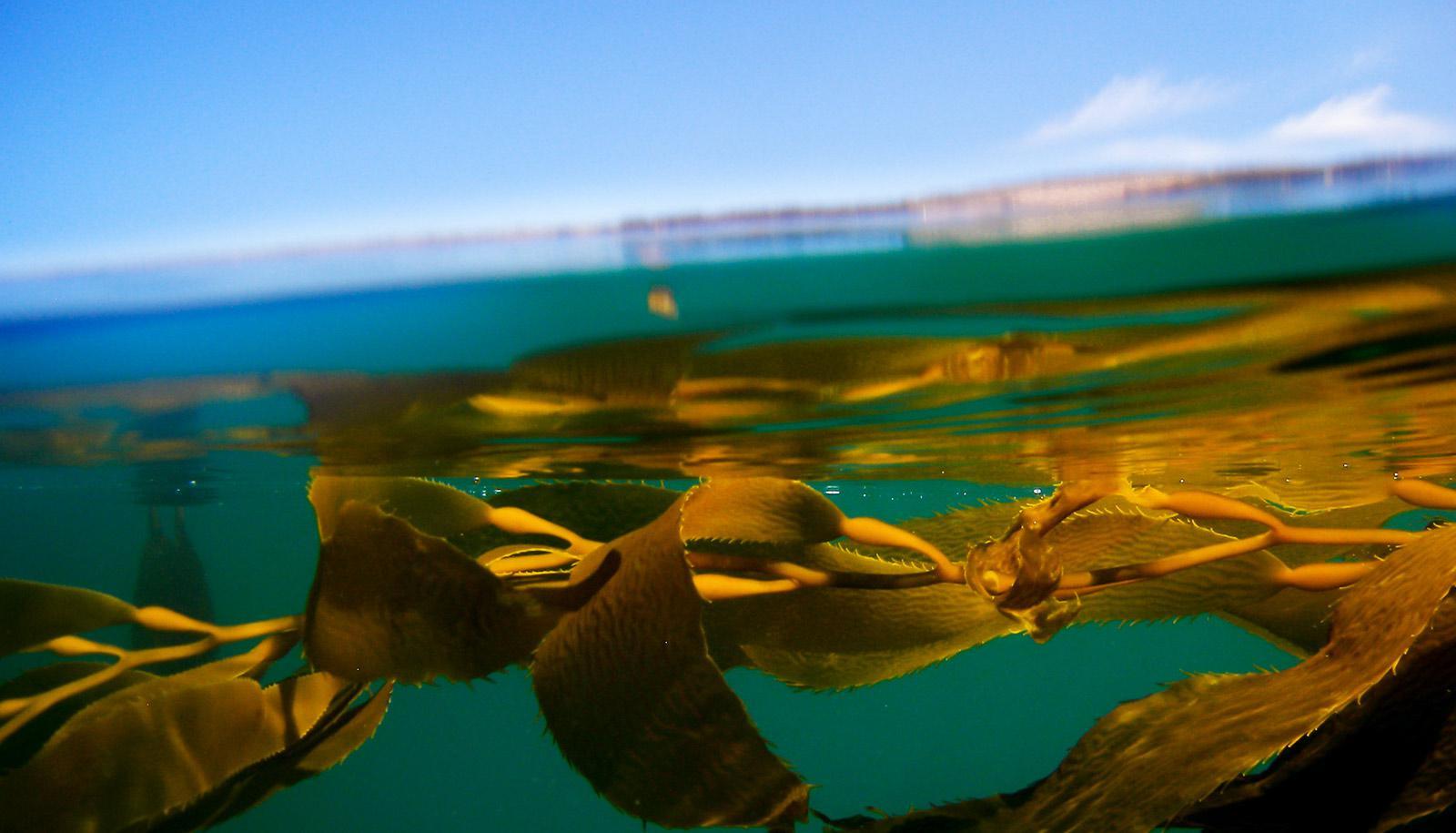 half-underwater shot of kelp
