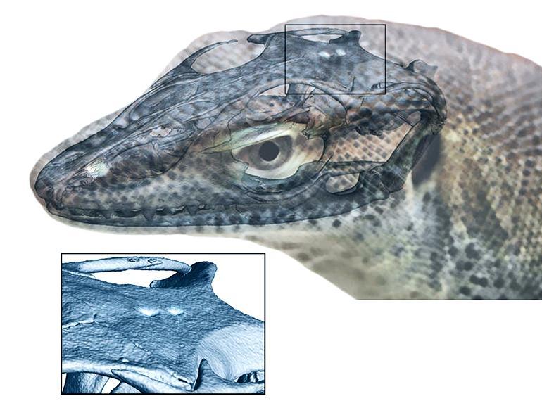 4-eyed lizard