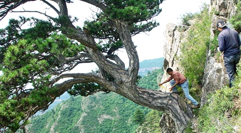researchers take a tree sample