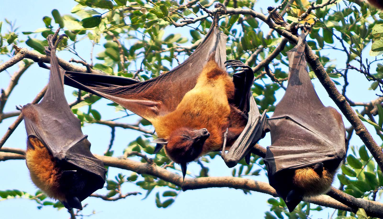 Bats hang from a tree, two asleep and one stretching its wings