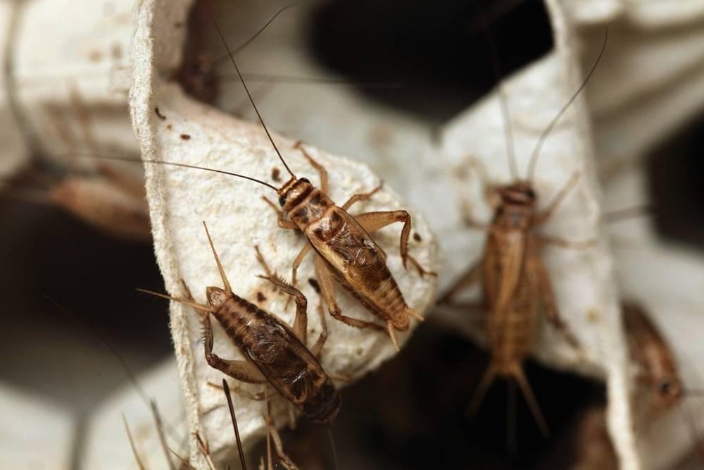 crickets on an egg carton