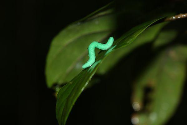 fake inchworm