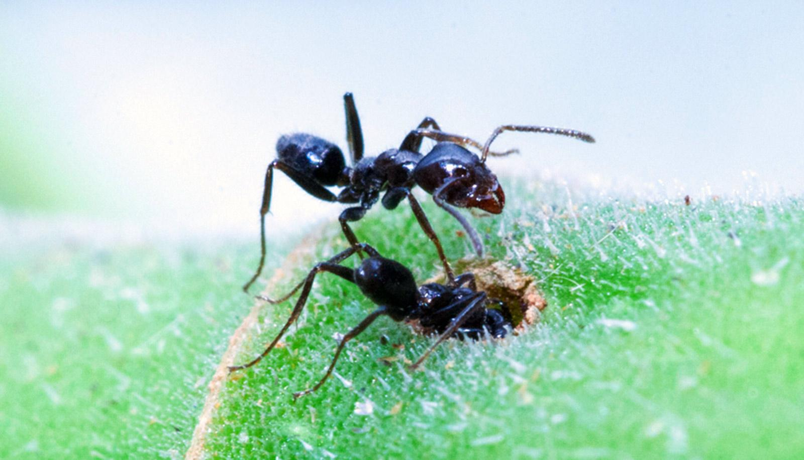 two ants, one of which has gone headfirst into a hole in green fuzzy surface