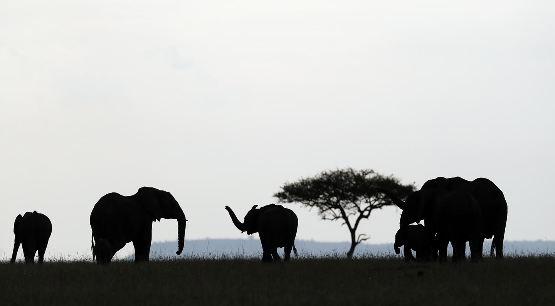 Group of African Elephants (Loxodonta africana). Silhouettes. Masai Mara game reserve. Kenya.