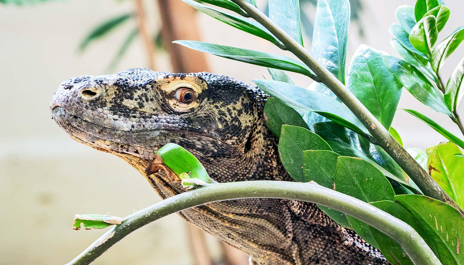 A komodo dragon pokes its head out from behind some leaves, looking over its shoulder