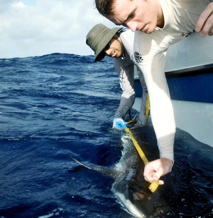 measuring a gray reef shark