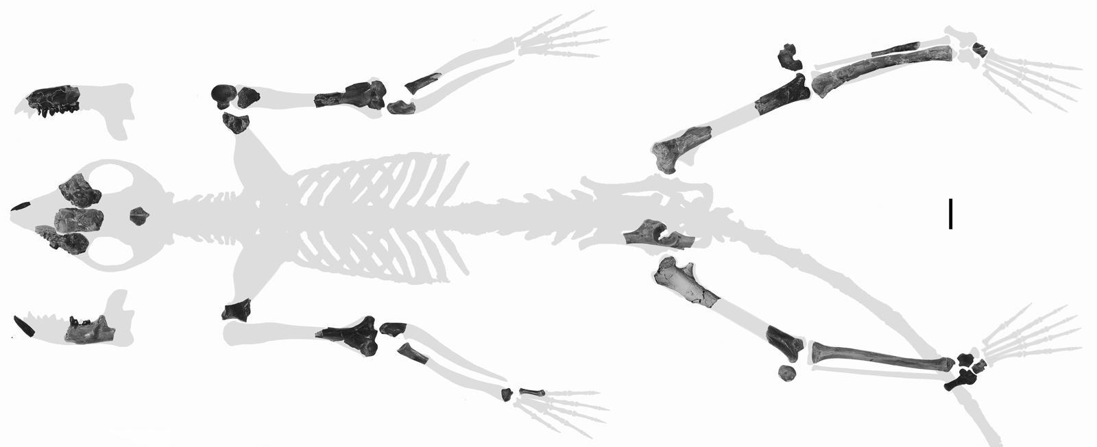 Torrejonia skeleton fragments