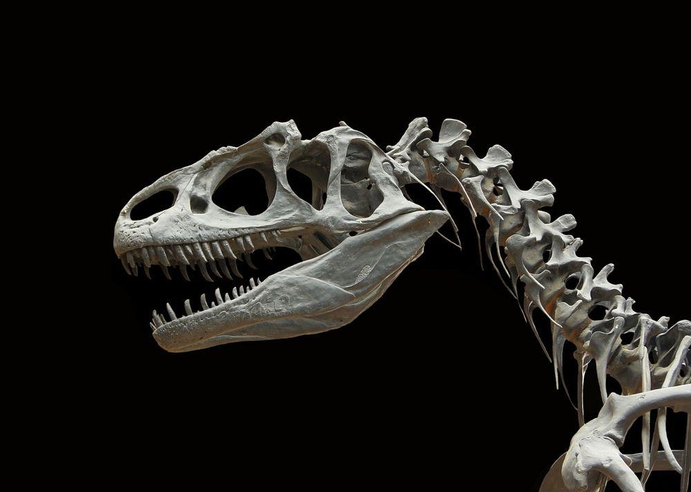 Dinosaur skeleton head and neck on black background.