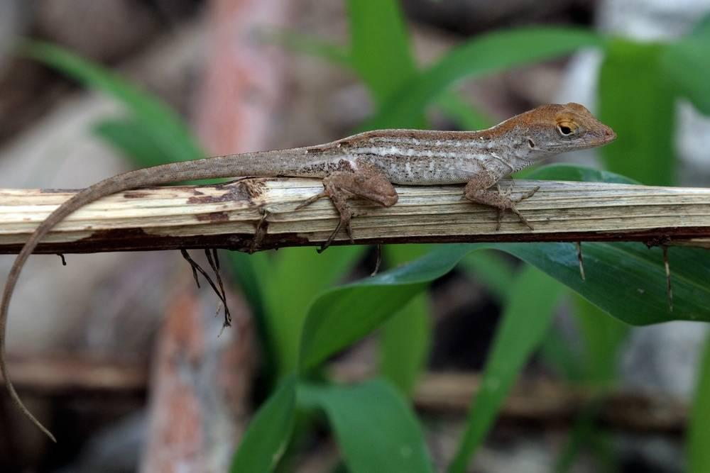 A Cuban brown anole