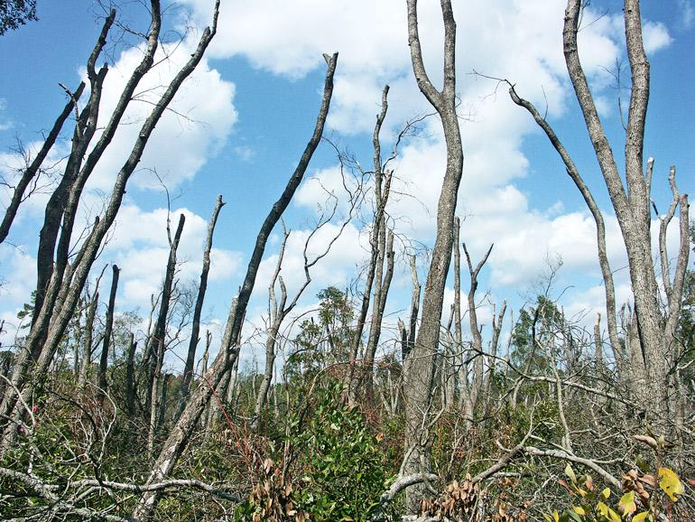 The image shows dead trees in Evans County Georgia. (invasive pests concept)