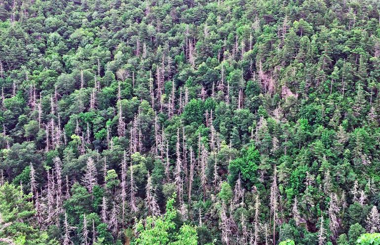 The image shows an aerial view of Great Smoky National Park in North Carolina where hemlock woolly adelgid has killed a number of trees.