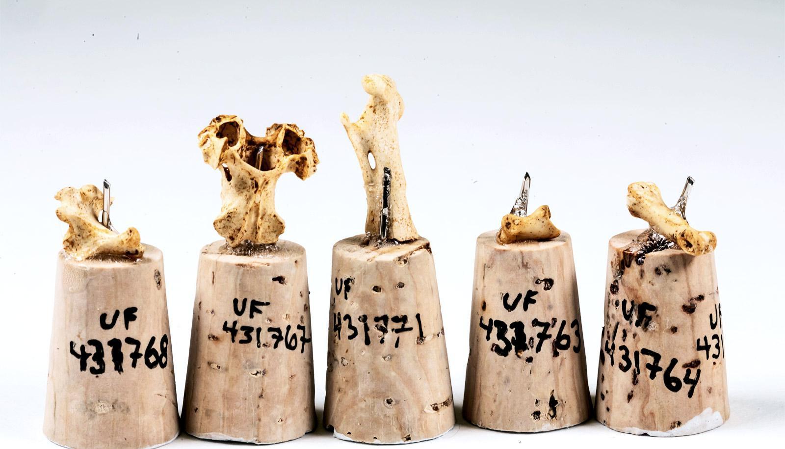 Tiny bones pinned to corks