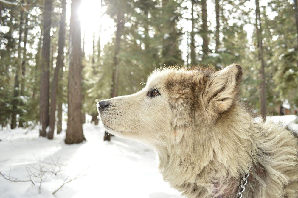 Sad wolf