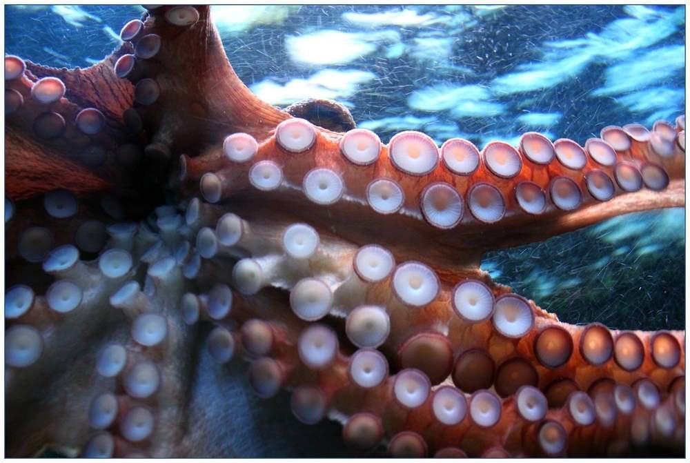 octopus suckers