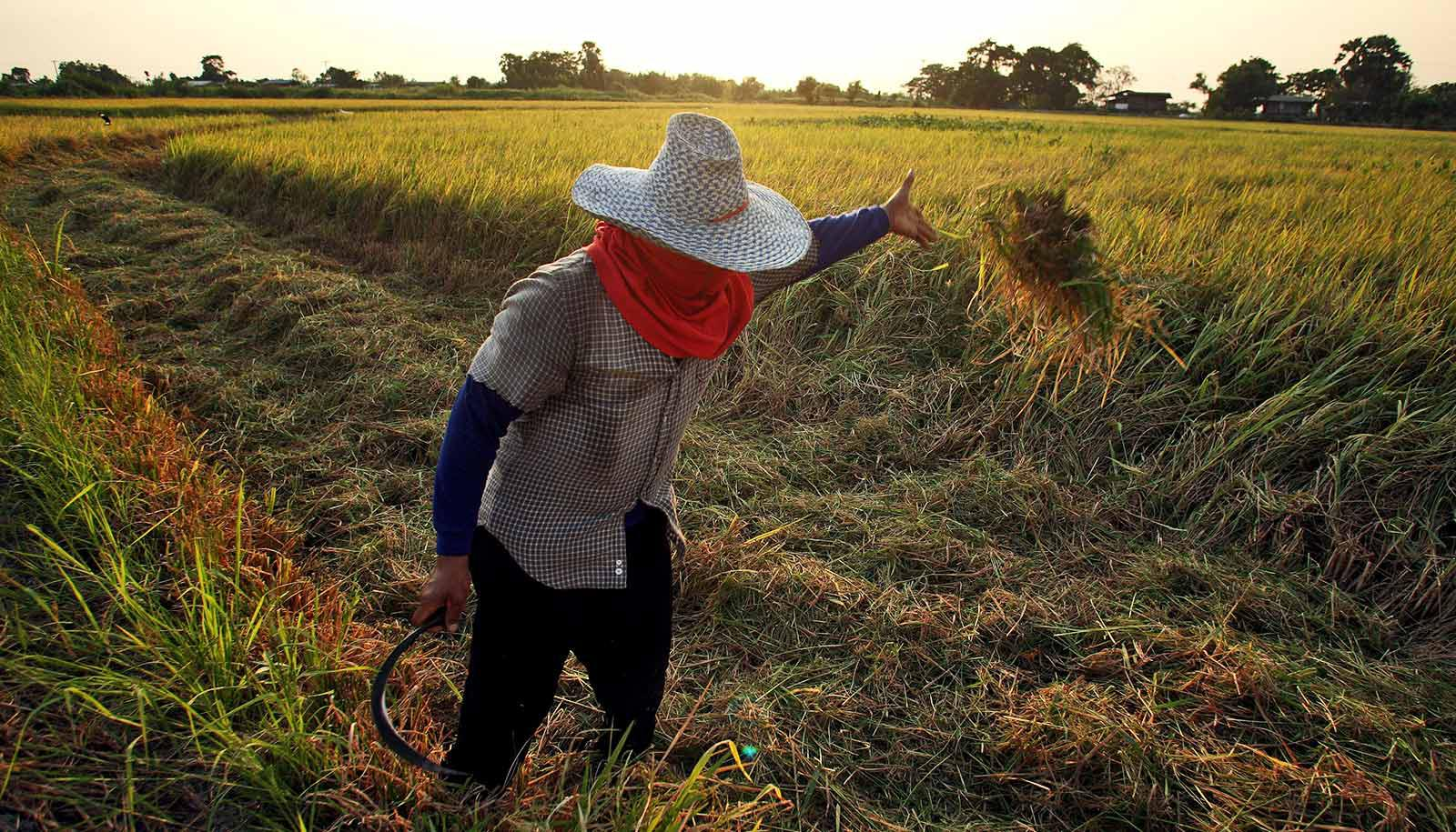 person in hat and scarf tosses clod of rice plant in field
