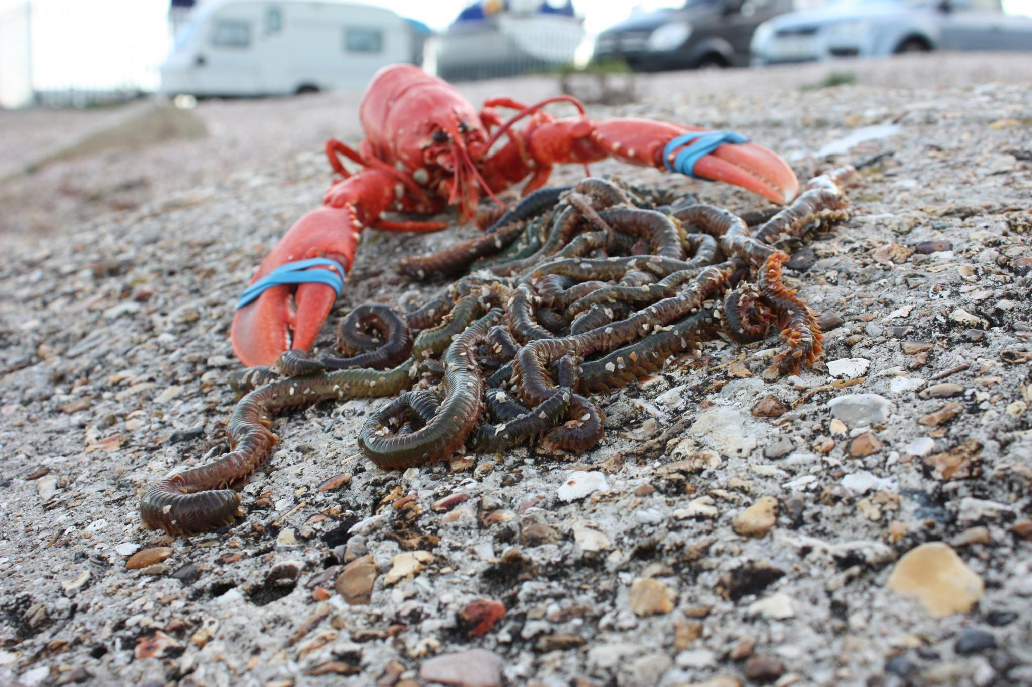 Blood worms, like other marine worms, are quite expensive, fetching significantly more per weight than lobsters.
