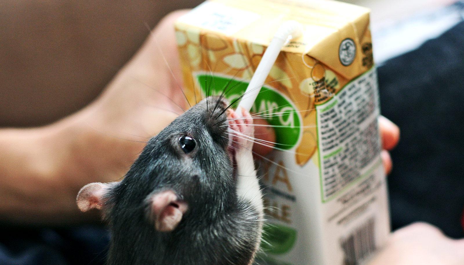 rat drinking from juice box