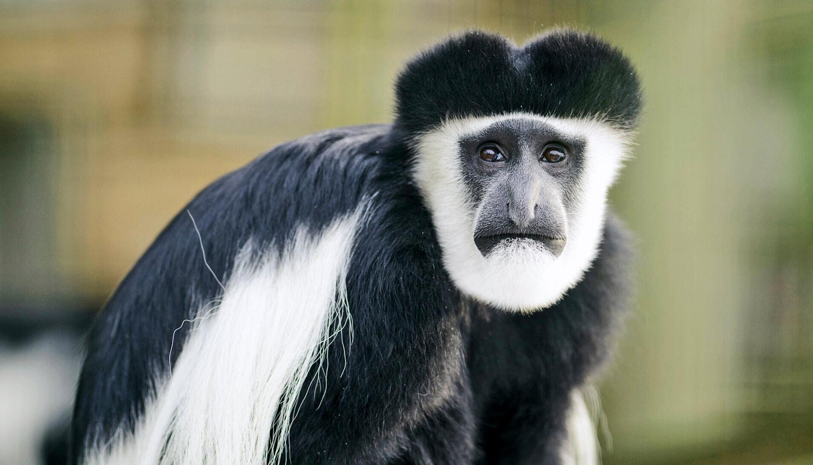 Colobus monkey with black and white fur