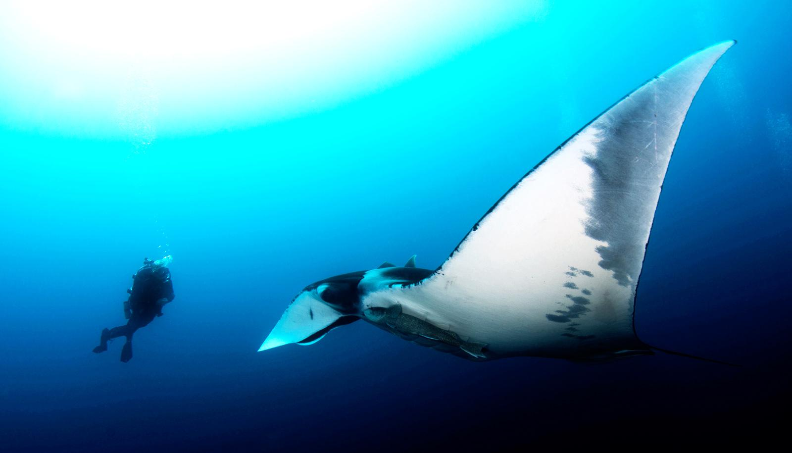 diver and giant manta ray - giant devil ray