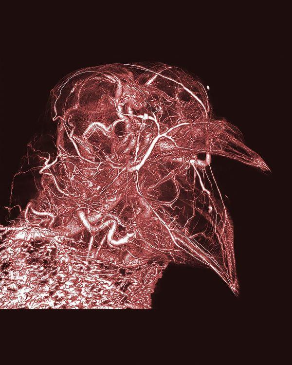 pigeon CT scan