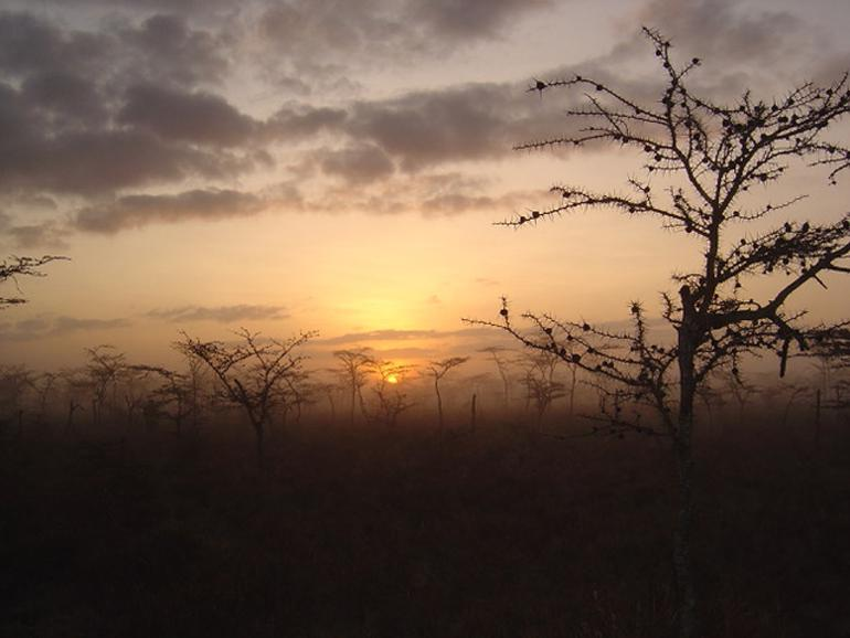 acacia trees at dawn or dusk