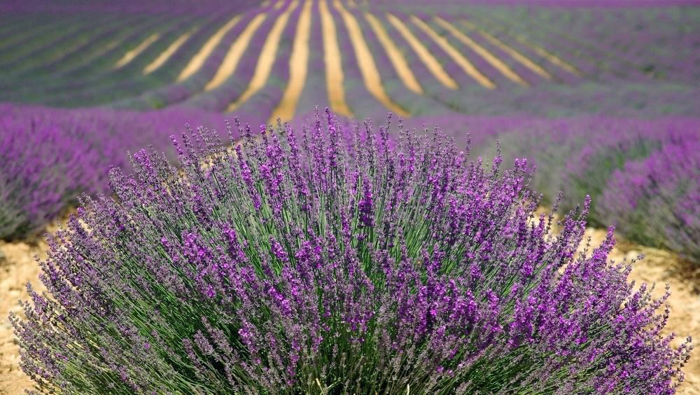 A field of lavender, with a large tuft of lavender in the foreground.