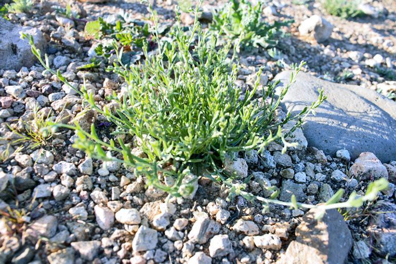 chuckwalla combseed plant