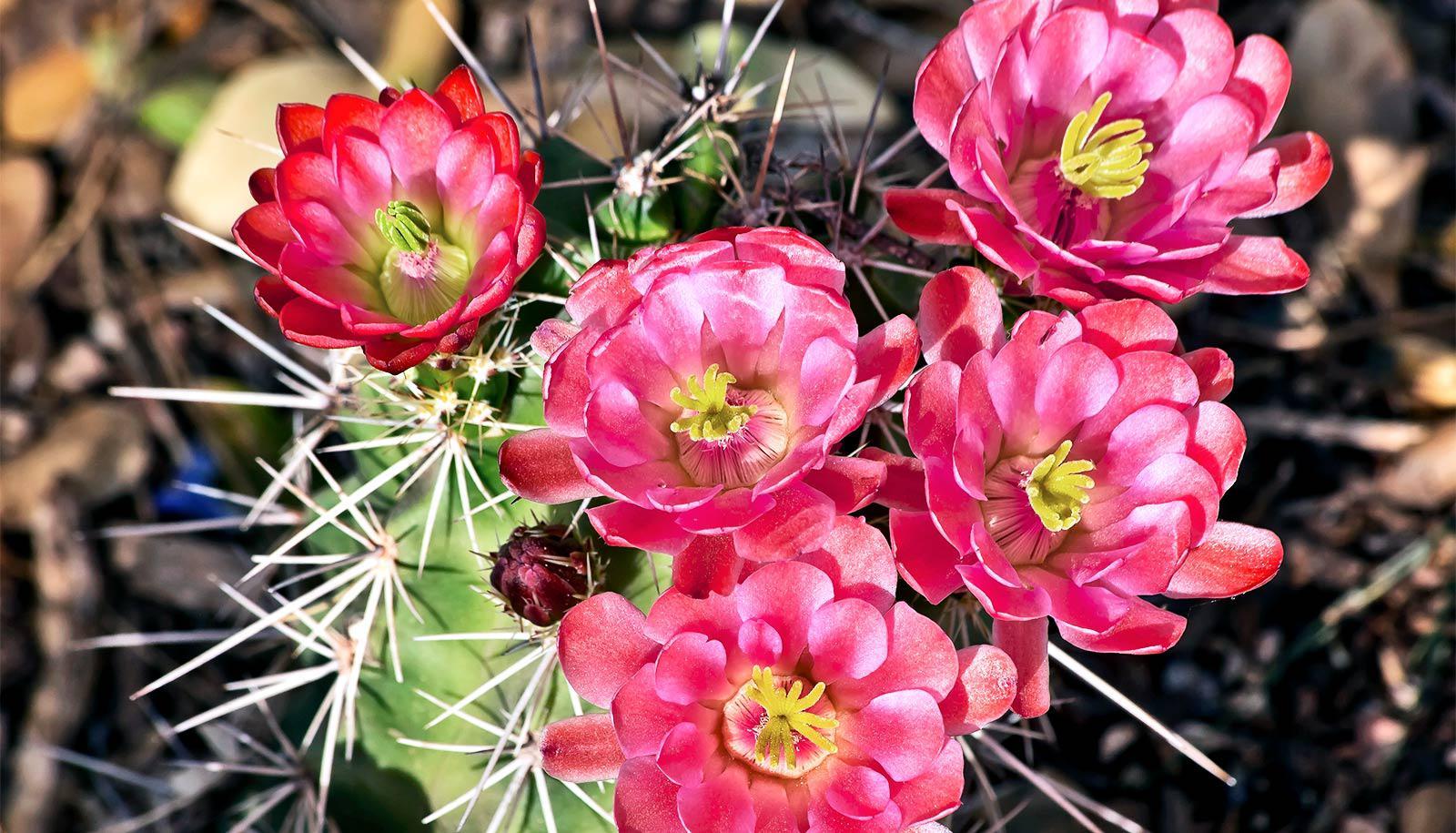 flowers on cactus