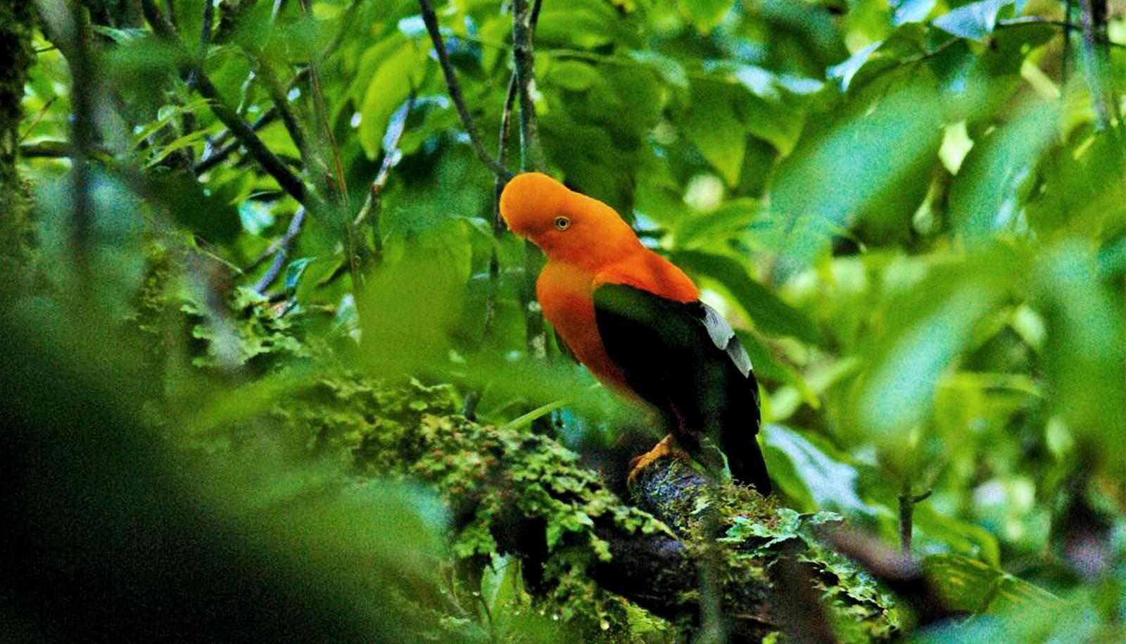 A bright orange and green bird sits in a tree