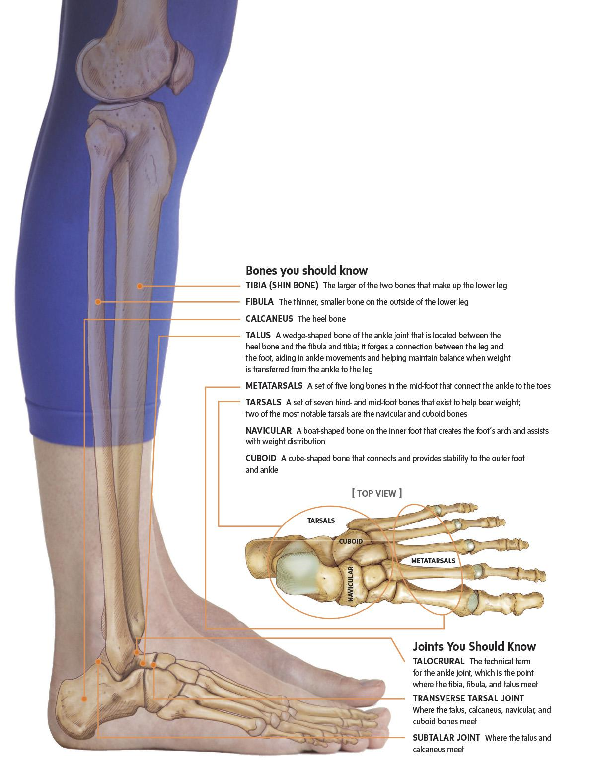 Get to Know… the Ankle Joint | Scribd