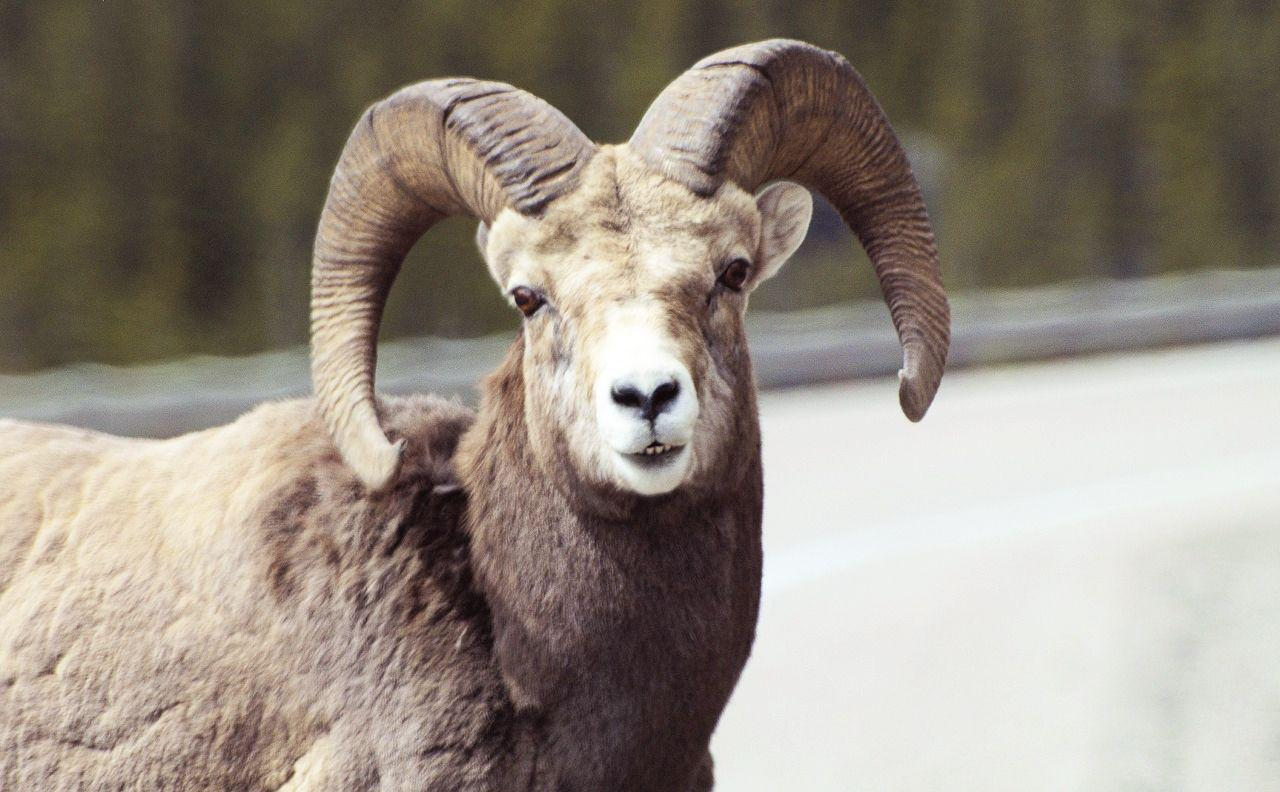 The state of Montana has determined that a bighorn ram has a public value of about $30,000.