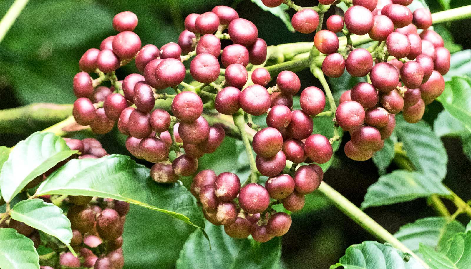 bandicoot berry