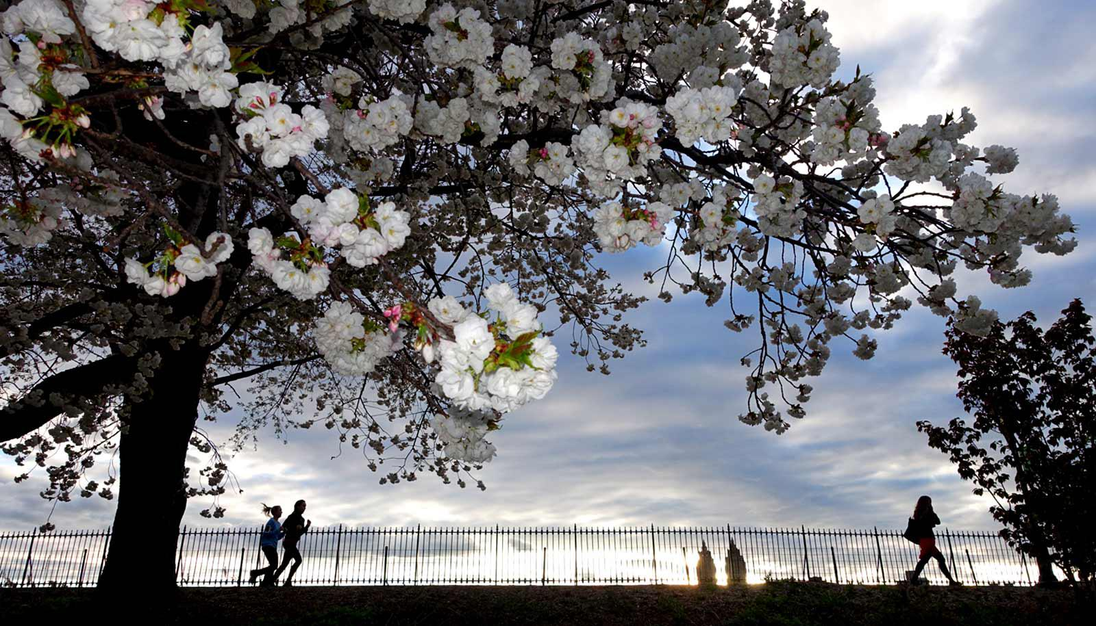 city trees bloom in foreground; joggers on city path in background