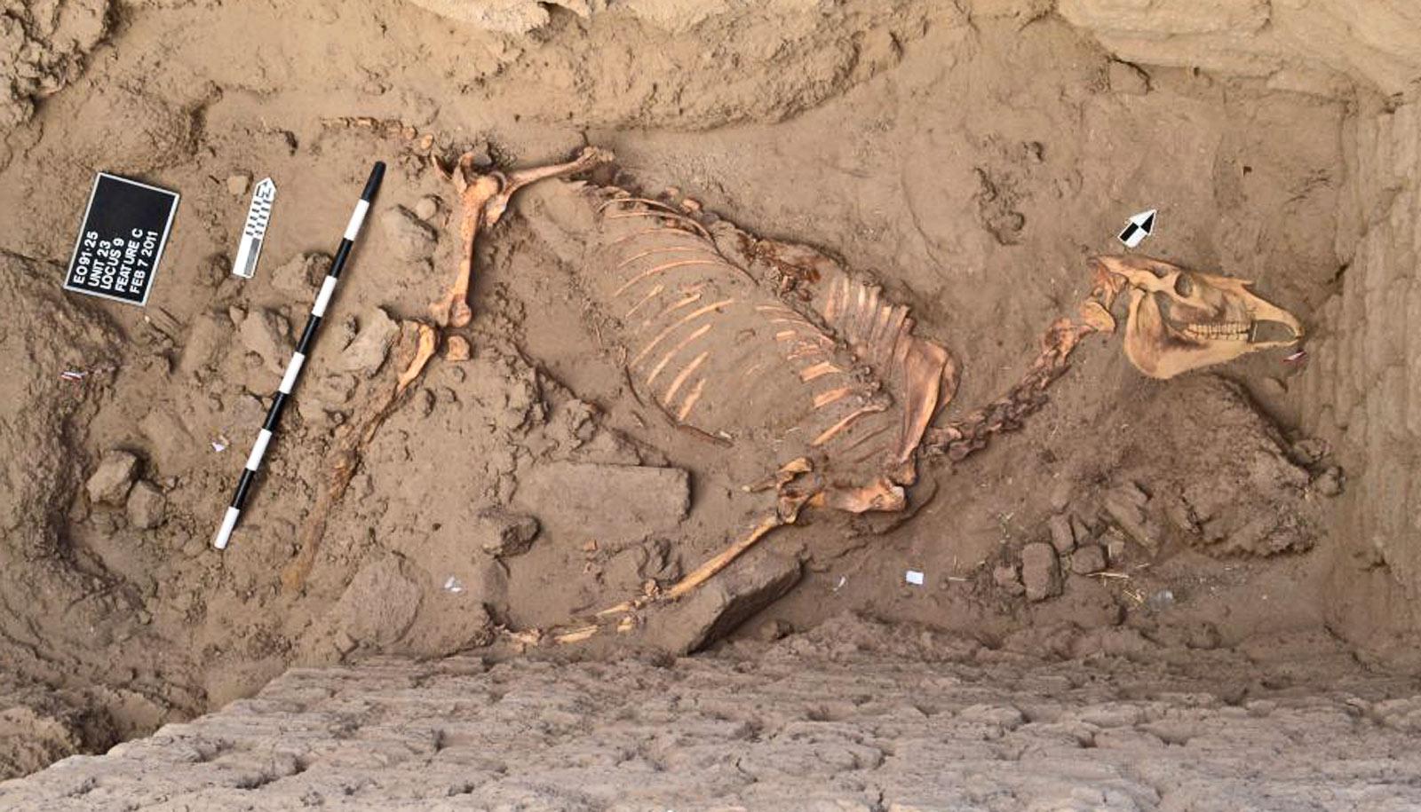 full horse skeleton - horse burial