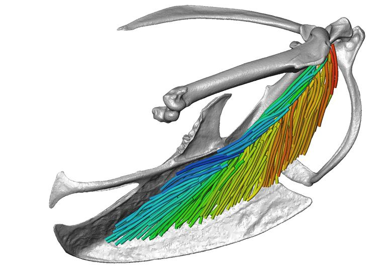 European starling pectoral muscle architecture