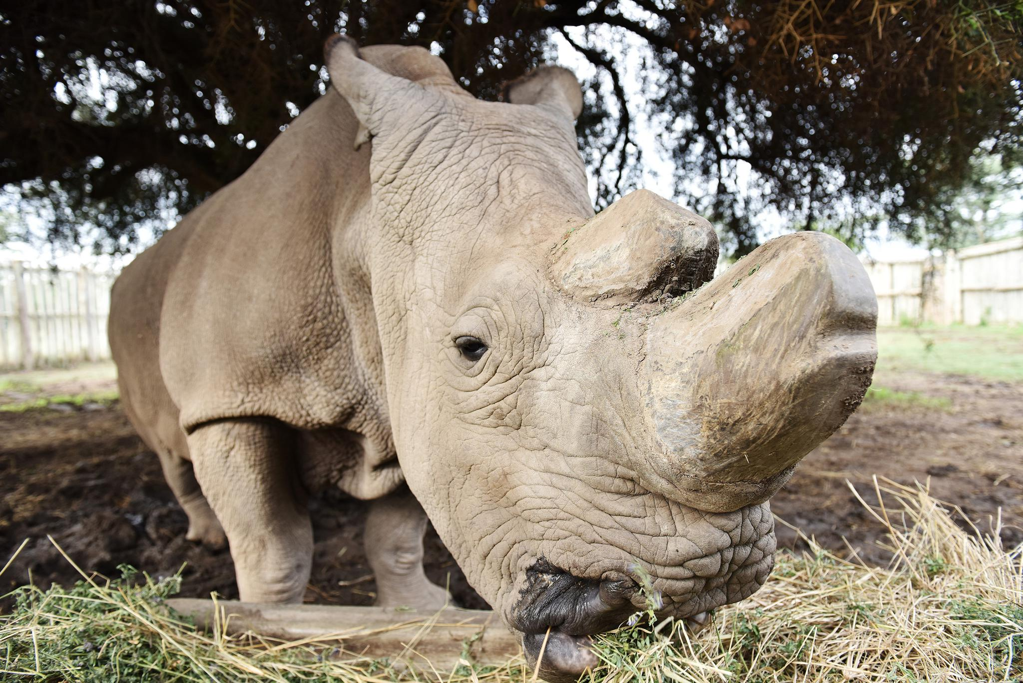 The Last Male Northern White Rhino Has Died, Spelling Probable Extinction  For The Species | Scribd