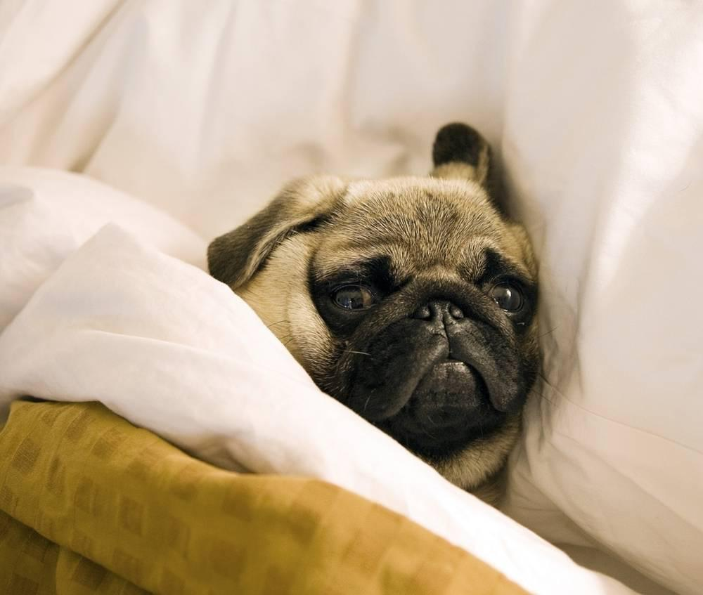 a pug in bed