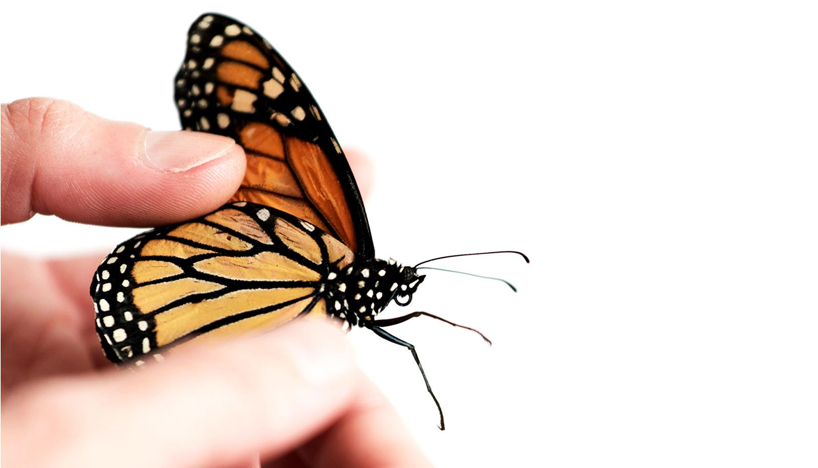 hand holds monarch butterfly