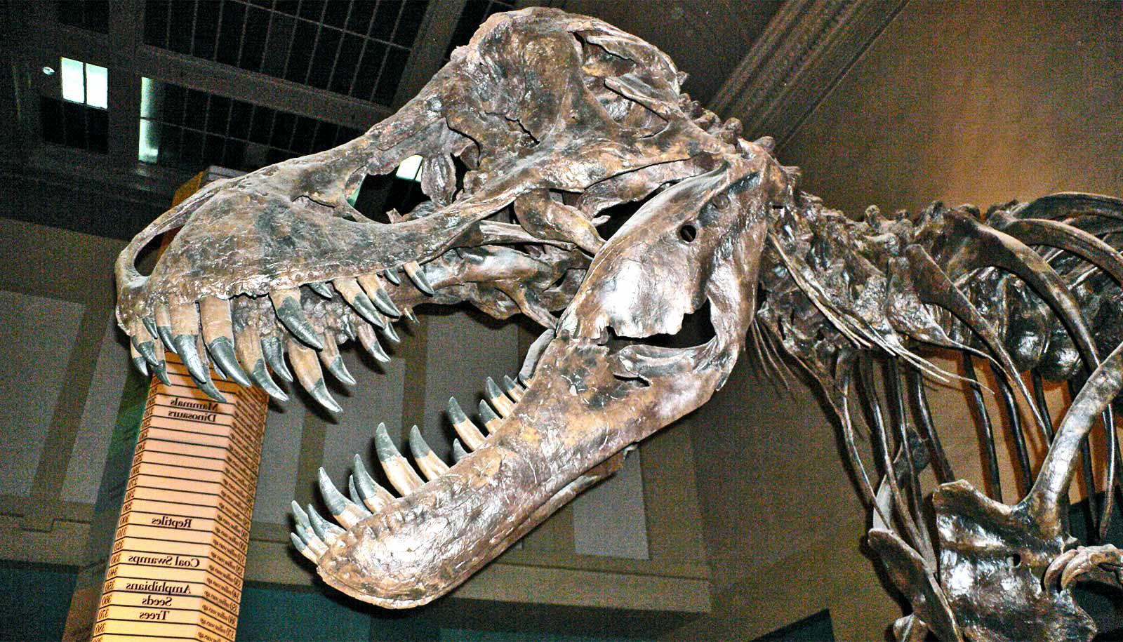 A T. Rex skeleton stands in a museum with its mouth open, showing its sharp teeth